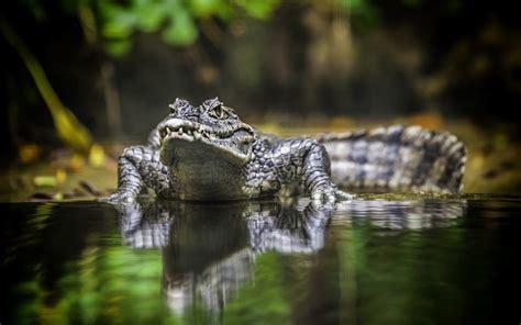 wallpaper krokodil crocodile hd hd desktop wallpapers 4k hd