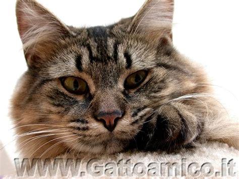 gatti persiani grigi il gatto newton l intelligenza dei gatti