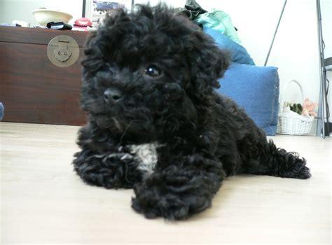 shihpoo haircut shih poo puppy cut newhairstylesformen2014 com
