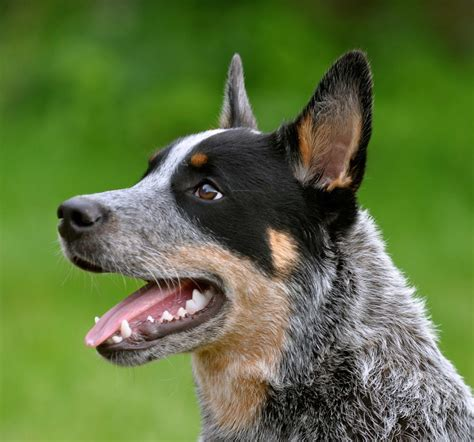 heeler breed australian cattle breed 187 information pictures more
