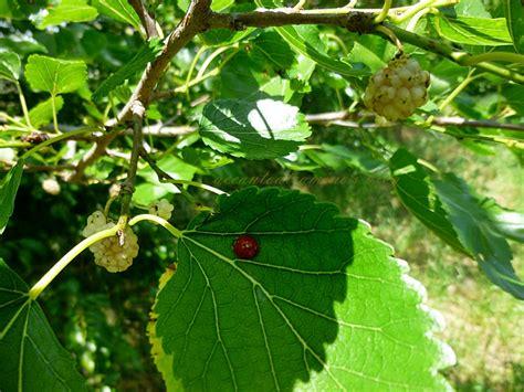 ordinario Piante Per Giardino #1: coccinella-su-foglia-gelso-bianco-001.jpg