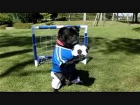 soccer pugs soccer pug on soccer pugs and watches