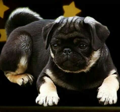 pug mascot 17 best images about colored pugs on a pug colors and amazing dogs