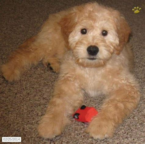mini goldendoodles size mini goldendoodle puppies for sale and goldendoodle on