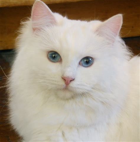 How Can I Find Ragdoll Kittens For Adoption?
