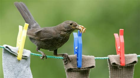 the rspb birds wildlife breed your own mealworms