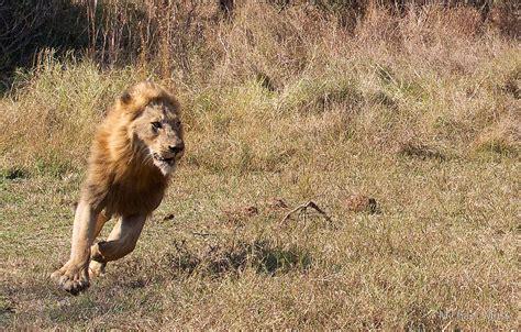 Home Decor Buffalo Quot Lion Running From Buffalo Quot By Michael Moss Redbubble