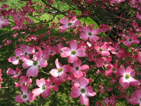 file pink dogwood tree west virginia forestwander jpg wikimedia commons