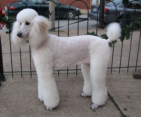 grooming standard poodles cuts jaz white standard poodle 2 by crystalspics on