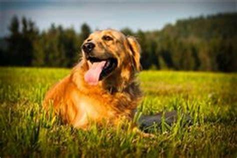 cool golden retriever names golden retriever names at dognamed