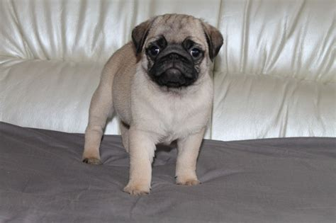 buying a pug puppy uk pug puppies for sale manchester greater manchester pets4homes