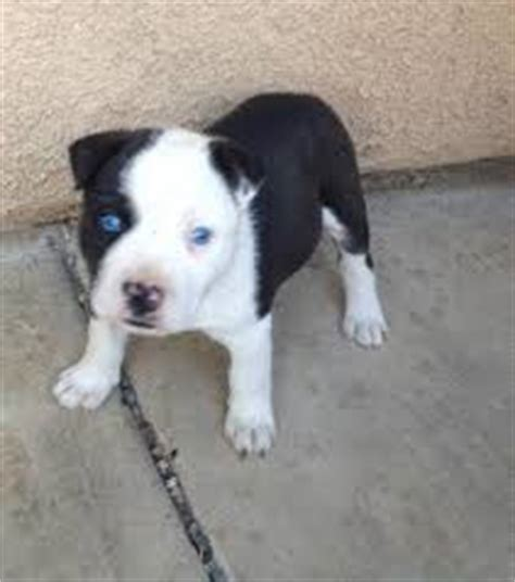 shih tzu cross breed siberian husky pitsky american pit bull terrier siberian husky or alaskan husky mix