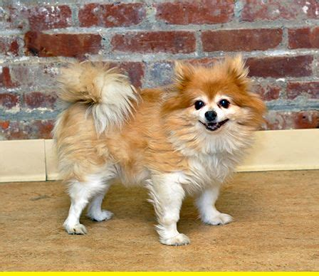 pomeranian pregnancy calendar 102 best images about pomchi s on chihuahuas pom and pomeranian dogs