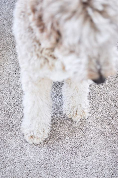 pet proof carpet the best pet proof carpet for your home cherished bliss