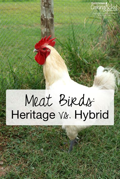best backyard chicken breeds best heritage chicken breeds for meat with best backyard chickens gogo papa