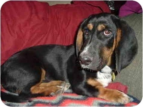 basset hound puppies az fritz adopted puppy az basset hound dachshund mix