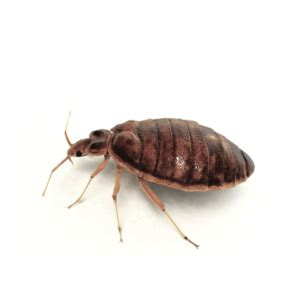 how to prepare for bed bug treatment how to get rid of bed bugs exterminator ottawa on