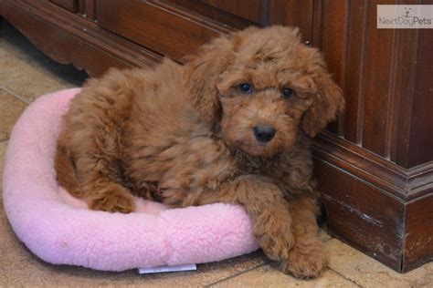 labradoodle puppies for sale near me labradoodle puppy for sale near dallas fort worth 1c3d353d 2781
