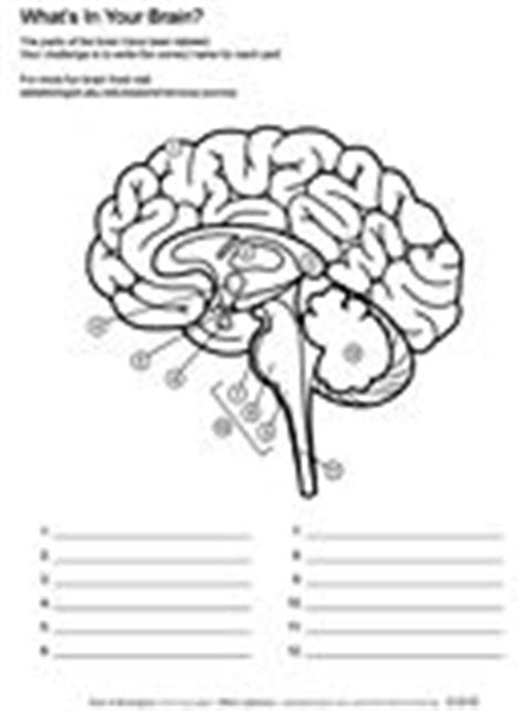 Brain Labeling Worksheet by Ask A Biologist Coloring Page What S In Your Brain