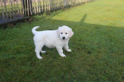 golden retriever rehoming south west golden retriever pups te koop west vlaanderen dogs in our photo