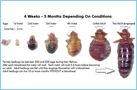 bed bug life span bed bug life cycle for more information on our