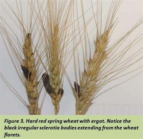 A Plant Disease - late season head diseases of wheat 07 30 15 crop amp pest report
