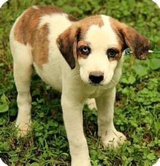 st bernard yorkie mix dalton adopted puppy dg hagerstown md st bernard siberian husky mix