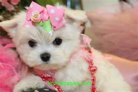 maltese puppies for sale in sc teacup maltese teacup maltese for sale maltese puppies tiny micro 954 324 0149