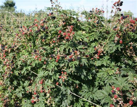 fruit tree nursery oregon buy blackberry oregon thornless blackberry oregon