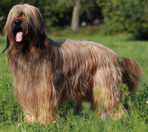 briard breed herding dogs list of all herding breeds k9 research lab
