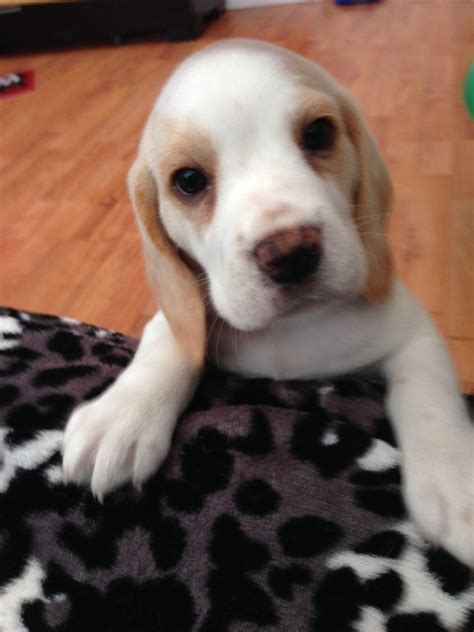 white beagle puppies lemon white beagle puppy sunderland tyne and wear pets4homes
