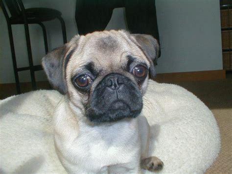 big eyed pug pug with big jpg