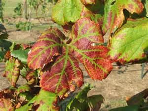 Tomato Plant Disease Treatment - grape leafroll