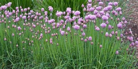 tumbuhan herba  wajib  tanam merdekacom