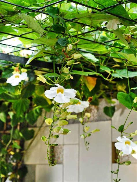 jual tanaman rambat thunbergia jual tanaman hias