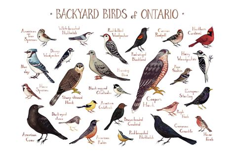 Ontario Backyard Birds Field Guide Art Print Watercolor