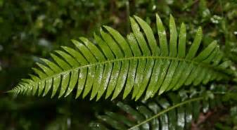 file fern jpg wikipedia