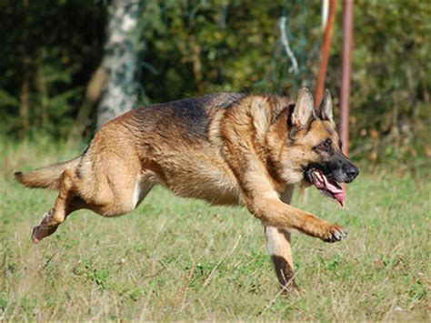 how fast can dogs run how fast can a german shepherd run the dogs trivia quiz fanpop
