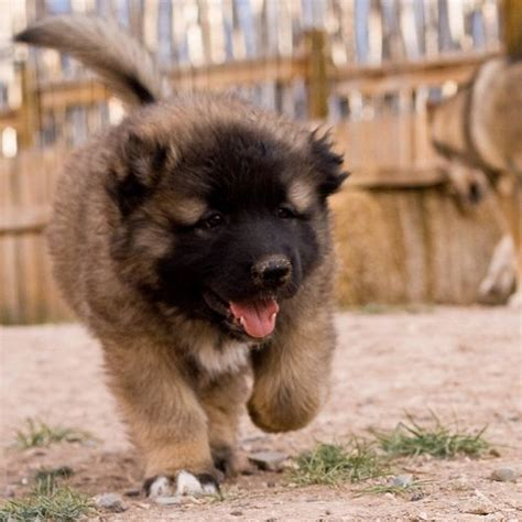 sarplaninac puppy šarplaninac illyrian sheepdog yugoslav shepherd