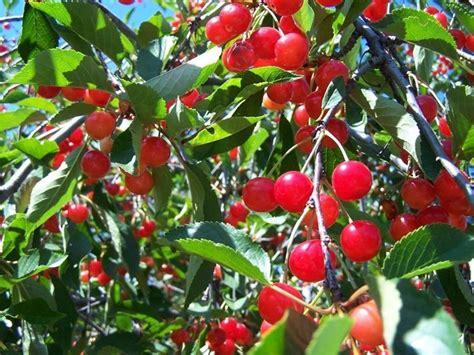 2 cherry tree groveland ma coltivazione ciliegio alberi da frutto coltivazione ciliegio alberi da frutto