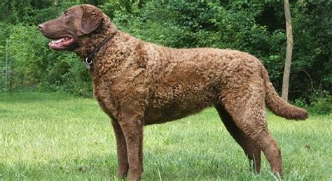 Chesapeake Bay Retriever Shed by Chesapeake Bay Retriever Breed Information Pictures
