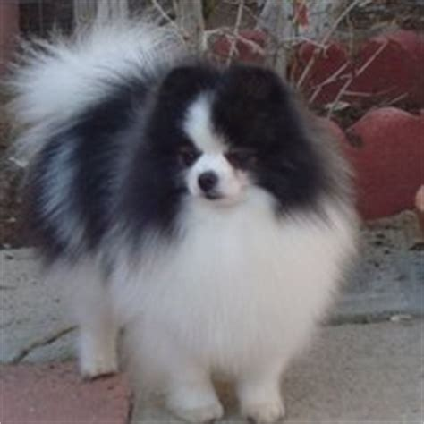 puppyfind pomeranian puppyfind pomeranian puppies for sale