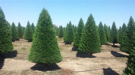 make holiday memories at a christmas tree farm houston