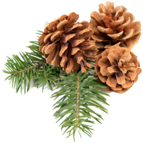 Pinecone Pine Cone Png Image Free Download