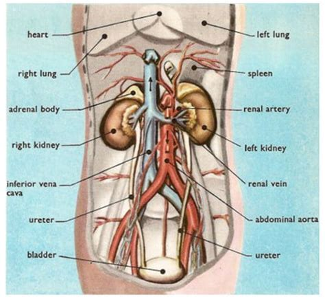 where is my kidney located in my diagram kidney and location stones and vs back