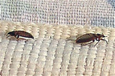 tiny bugs in bed not bed bugs tiny bugs in bed not bed bugs don t let the bed bugs bite