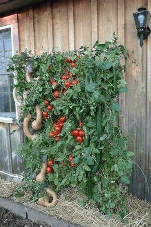 vertical tomato gardening vertical tomato gardening vertical garden skyscraper