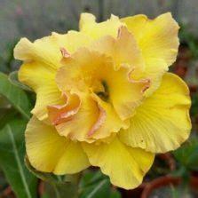 Benih Bunga Sedap Malam budidaya bunga sedap malam roro anteng bibitbunga