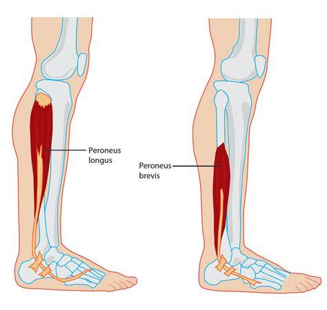The Leg L by Fibularis Brevis And Fibularis Longus