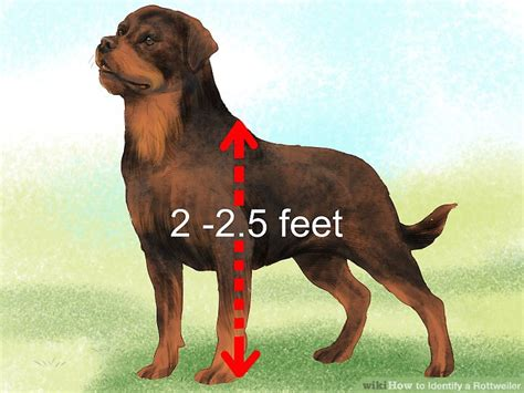 rottweiler colors 3 ways to identify a rottweiler wikihow